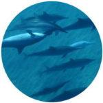 Koolina Dolphins